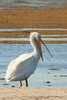American White Pelican (b1634)
