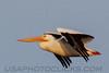 American White Pelican (b1638)