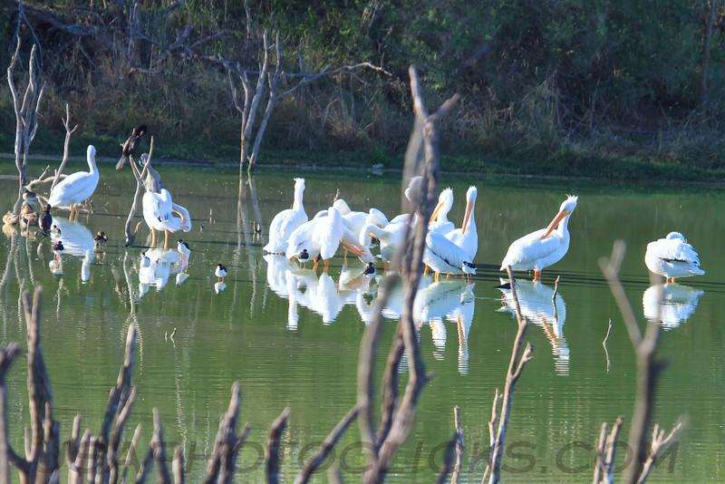 American White Pelican (b1632)