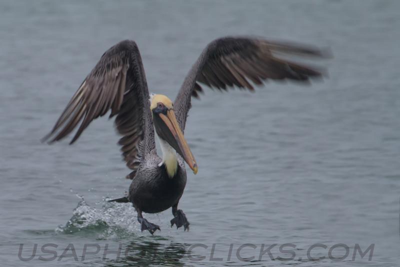 Brown Pelican (b1641)