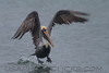 Brown Pelican (b1641)