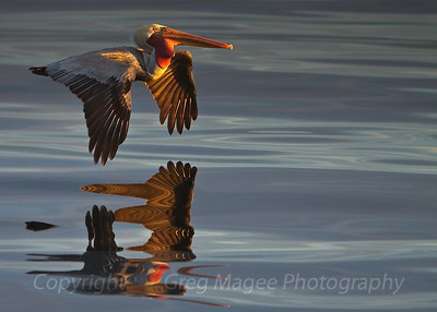 Brown pelican and reflection in early morning golden light  I was amazed to see this reflection after quickly shooting this brown pelican flying by in some of the most strangely beautiful light I have ever seen, just after dawn in Monterey Bay.
