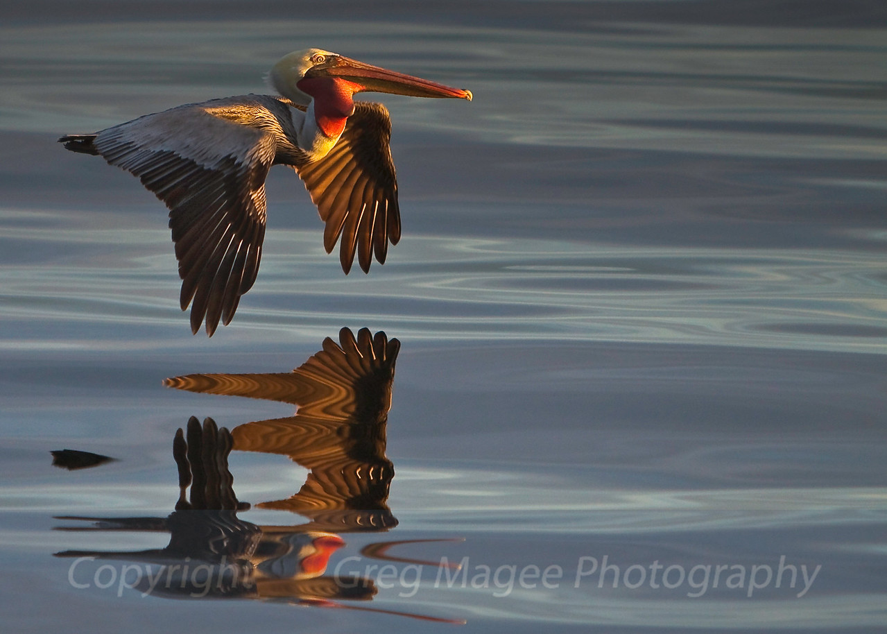 Brown pelican and reflection in early morning golden light<br /> <br /> I was amazed to see this reflection after quickly shooting this brown pelican flying by in some of the most strangely beautiful light I have ever seen, just after dawn in Monterey Bay.