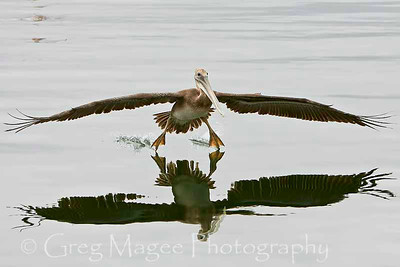 Pelican Landing with Full Reflection