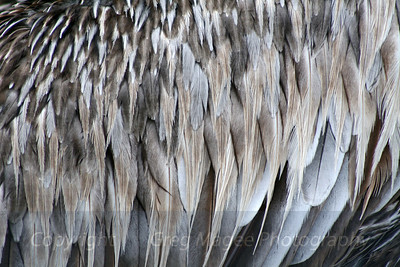 Brown pelican feathers close up
