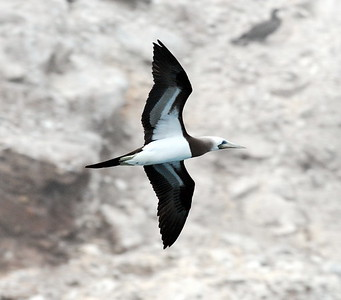 male at Middle Rock, Los Coronados Isles, Baja California, Mexico 01/12/2008