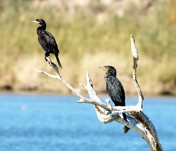 Good size comparision with Double-crested Cormorant