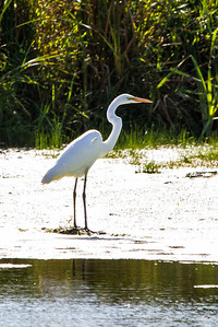 Great White Egret. Nine Springs - Madison, WI