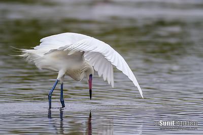 Reddish Egret (White-morph)