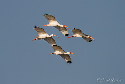 White Ibises in Flight. Lakes Park - Ft. Myers, FL