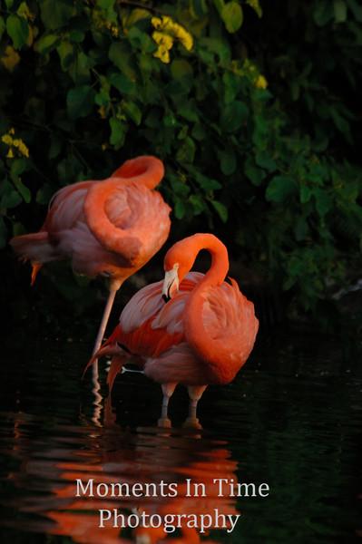 Flamingo beauties v