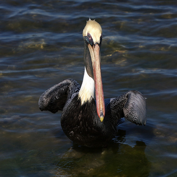 An adult brown pelican waits for a handout.