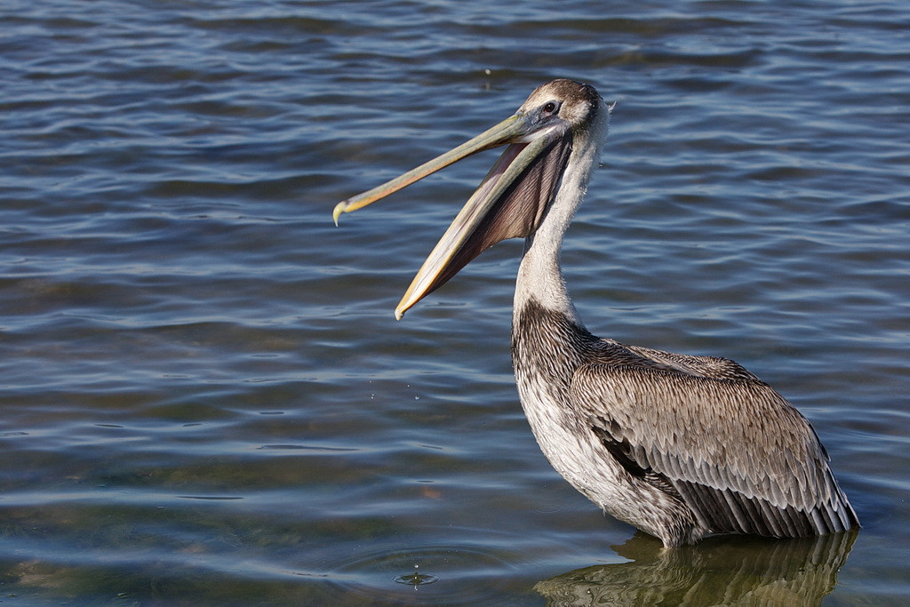 """Hey, Fishhog, you already had a piece. It's my turn next,"" says an immature brown pelican."