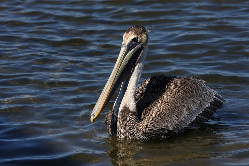 As does a juvenile brown pelican.