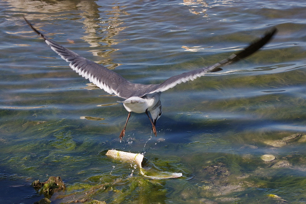 """Those pelicans are so slow,"" says this gull. ""This piece is mine."" But he overshot the piece and never did get it. Overconfidence leads to sloppiness in execution. Just ask Picabo Street."