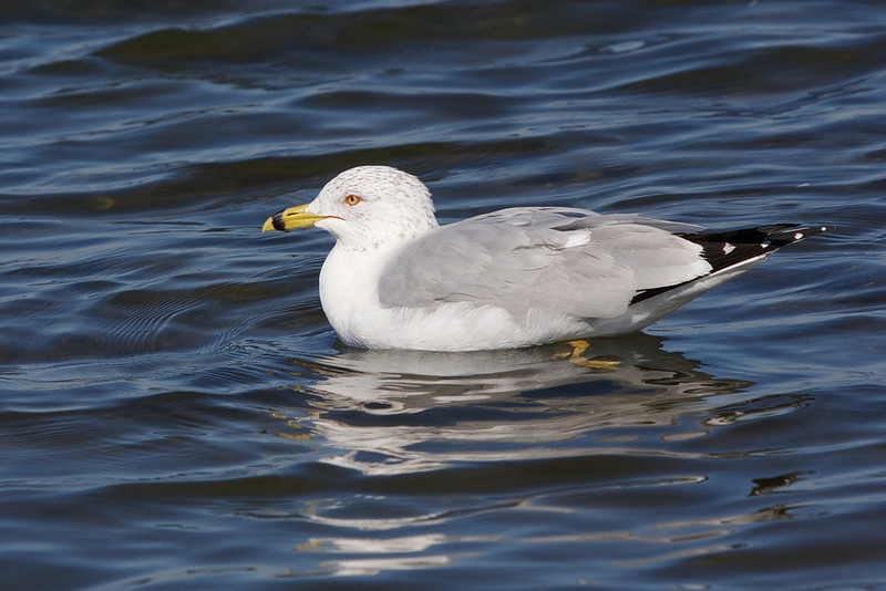 I'm guessing this is an adult breeding ring-billed gull. I say it's breeding because of the red orbital eye ring, but Sibley says ring-billed gulls breed from April through September, and I took this photo on February 8. Maybe it just has too many hormones. Birds: why can't they wear name tags?