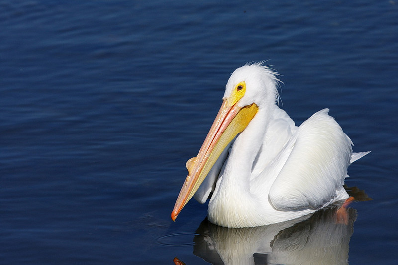 This is the same American white pelican as in the previous photo. The bump on his beak indicates he's ready for breeding. He sports this growth from February through June. (Thank you, Mr. Sibley.)