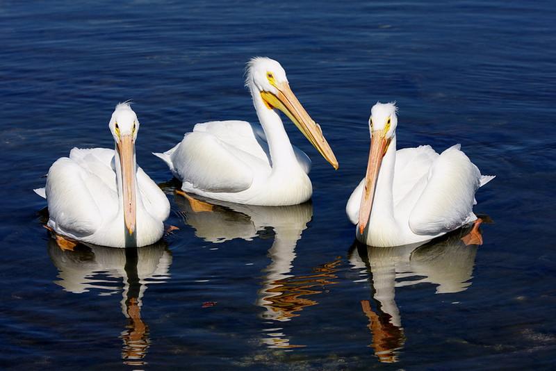 Three American white pelicans posing for the camera. Ha!
