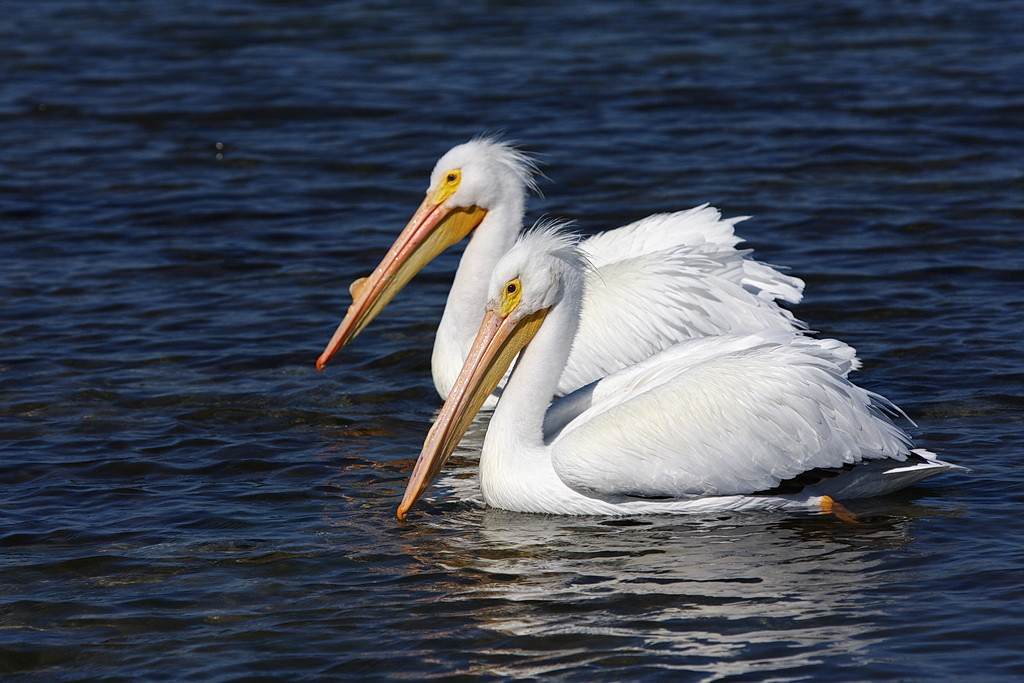 Two American white pelicans, one showing a prominent breeding bump and the other not. I don't have an explanation for the difference in their appearance. Perhaps white pelicans don't all enter their breeding phase at the same time.