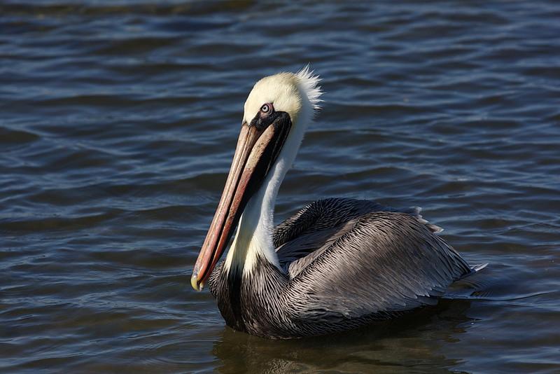 An adult brown pelican.