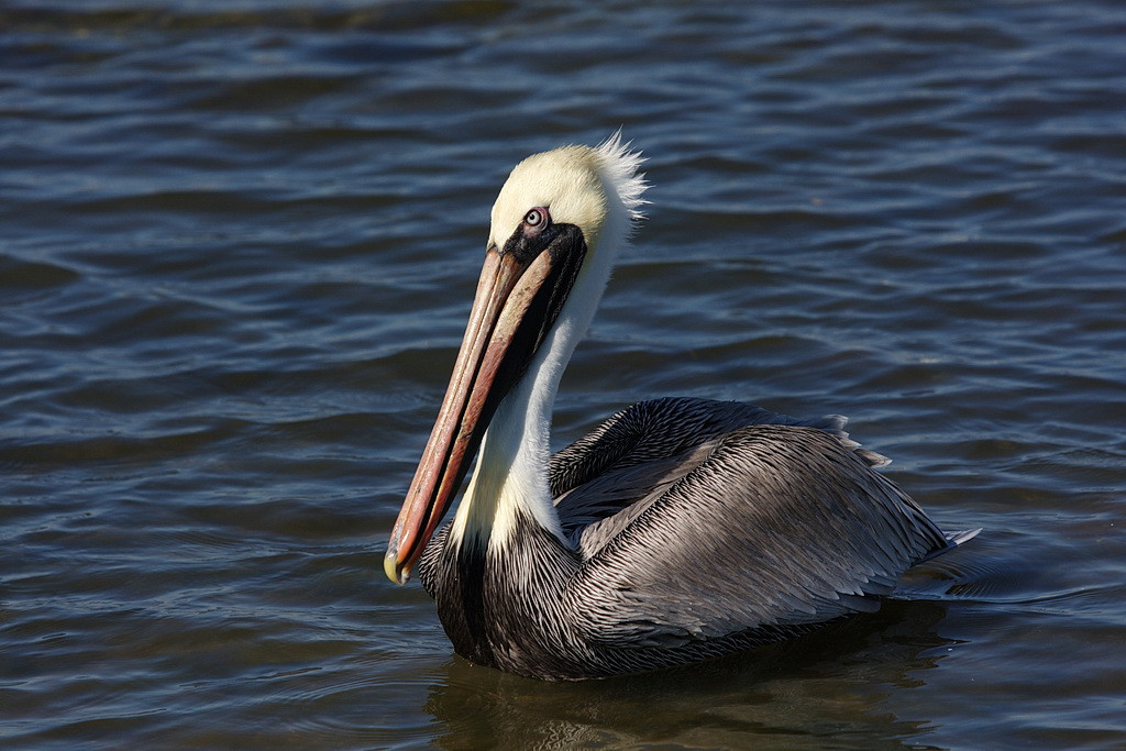 An adult brown pelican.