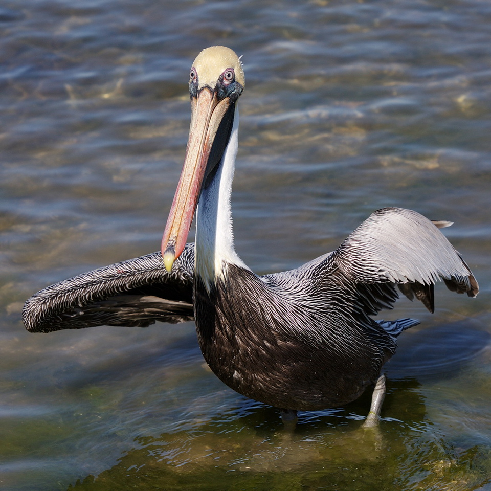The adult brown pelican now stares intently at the fishermen who are about to throw some food.