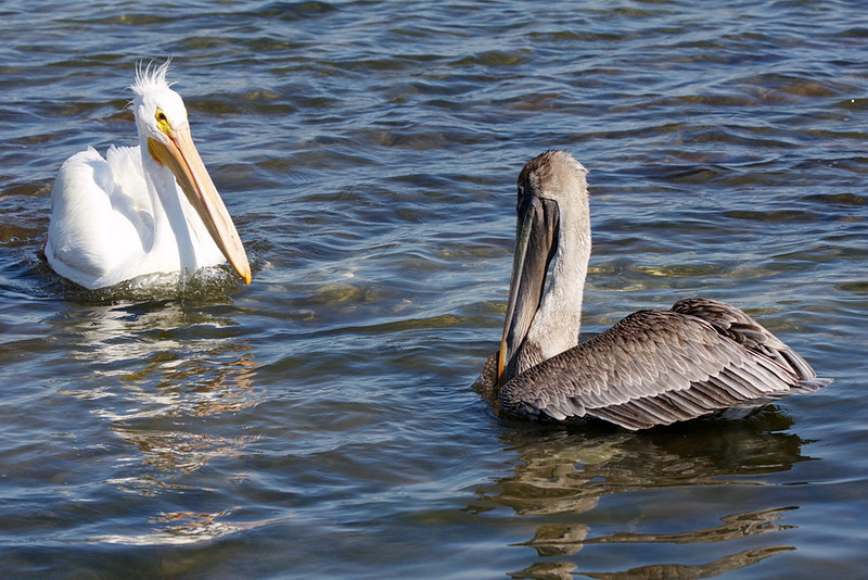 """An American white pelican on the left and a juvenile brown pelican on the right. """"Cool Don King hairdo, Dude,"""" says the brown pelican."""