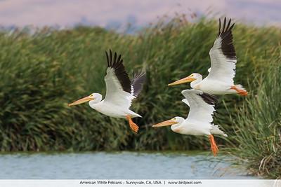 American White Pelicans - Sunnyvale, CA, USA