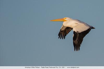 American White Pelican - Radio Road, Redwood City, CA, USA