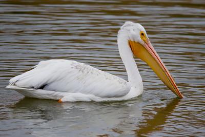 American White Pelican - Sunnyvale, CA, USA