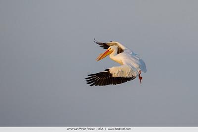 American White Pelican - USA