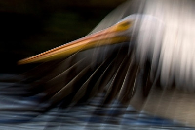 Morning blur, pelican beak and feathers