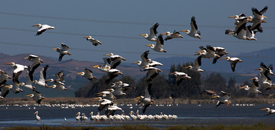 The mother lode of American White Pelicans