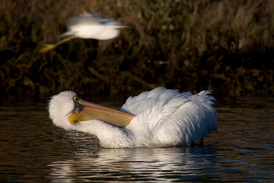 White Pelican preening, snowy egret flying by