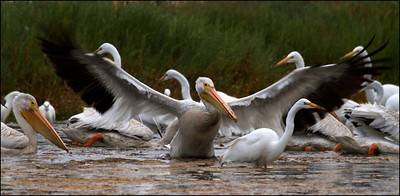 American White Pelican and Egrets