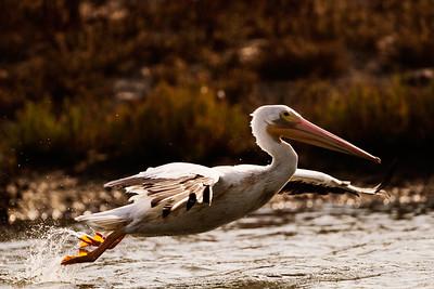 American White Pelican Pelecanus Erythrorhynchos