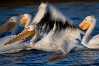 American White Pelican departing