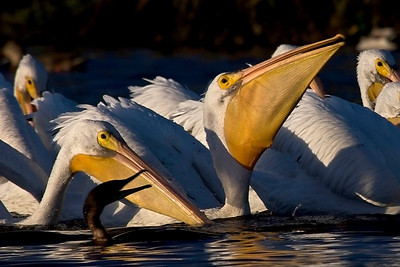 American White Pelicans and cormorant