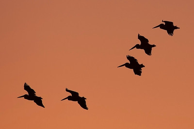 Pelican silhouettes at sunrise