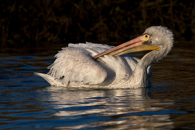 American White Pelican preening, morning