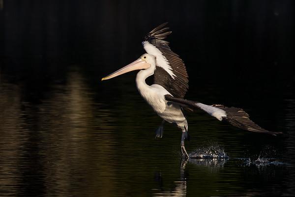 Pelican_landing©DavidStowe