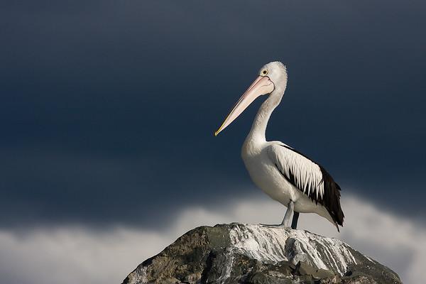 Pelican-1663©DavidStowe