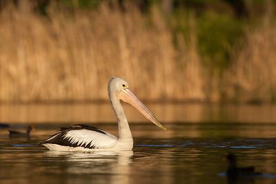 Pelican-1533©DavidStowe