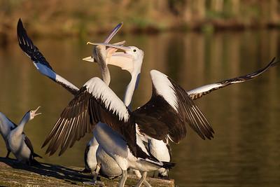 Pelican-1496©DavidStowe