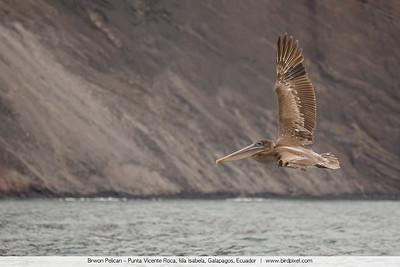 Brwon Pelican - Punta Vicente Roca, Isla Isabela, Galapagos, Ecuador