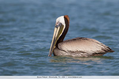 Brown Pelican - Brownsville, TX , USA
