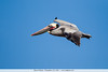 Brown Pelican - Pescadero, CA, USA