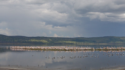 Great White Pelicans and other birds - Lake Nakuru Naional Park, Kenya