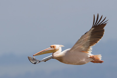 Great White Pelican - Lake Nakuru Naional Park, Kenya