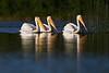 white Pelican's cruising